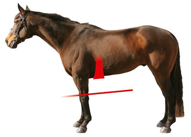 Athletico Girth Shape Horse