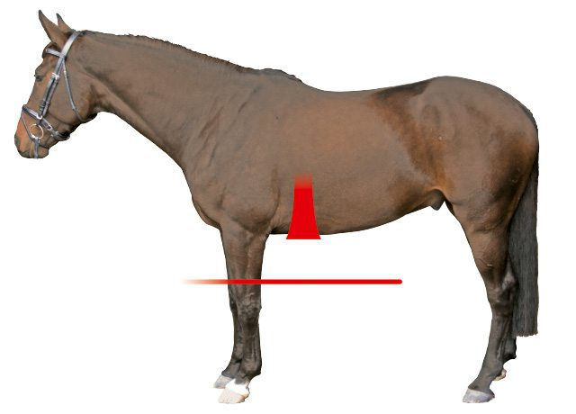 Anatomic Girth Shape Horse