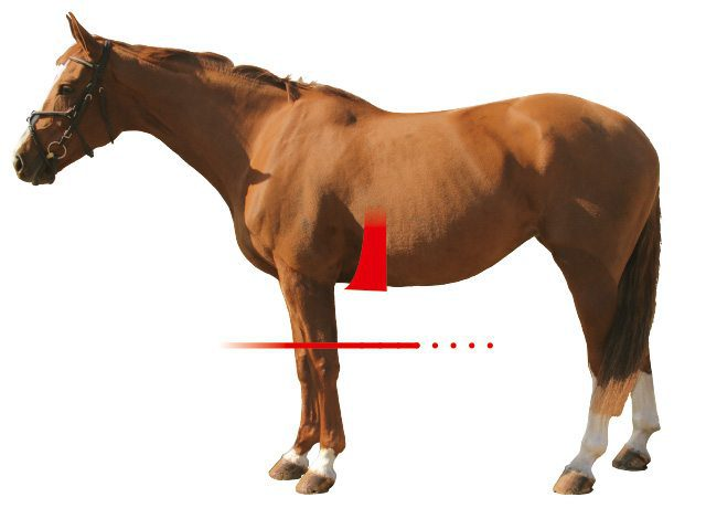 Asymetric Girth Shape Horse